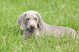 Weimaraner Vorsterhund puppy lying