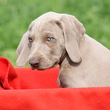 Weimaraner Vorsterhund puppy in red box