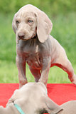 Weimaraner Vorsterhund puppy on red box