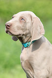 Portrait of Weimaraner Vorsterhund puppy