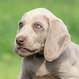 Portrait of Weimaraner Vorsterhund puppy with amazing eyes