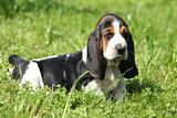 Gorgeous puppy of basset hound in the grass