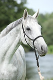 Portrait of white English Thoroughbred horse in front of river