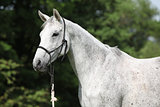 Portrait of white English Thoroughbred horse