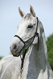 Portrait of white English Thoroughbred horse with halter