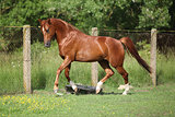 Nice chestnut arabian horse running in paddock