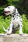 Gorgeous dalmatian puppy on some stock in the garden