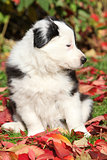 Nice border collie puppy sitting in red leaves
