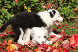 Two puppies playing in red leaves