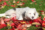 Nice border collie puppy lying in red leaves