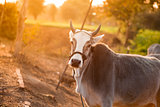 Indian white cow in farmland