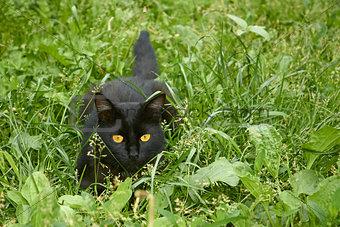 Black cat in ambush outdoors