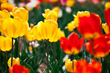 Colorful yellow and red spring flowers tulips