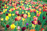 Colorful tulips blossoming