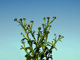 Prickly bush