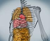 Digital skeleton with organs