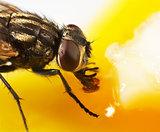 fly feeding
