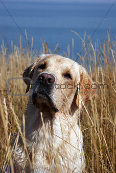 A yellow labrador in field