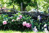 Flowers near the wooden fence with vines in the village