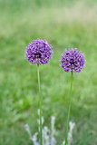 Two decorative bow purple flower on a green background