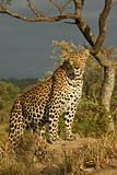leopard on termite mound