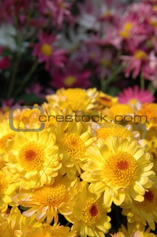 Close up of yellow chrysanthemums