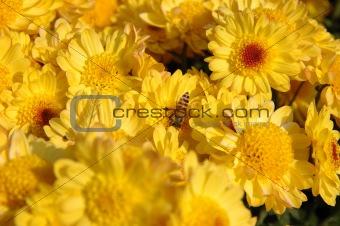 Bee in yellow chrysanthemun