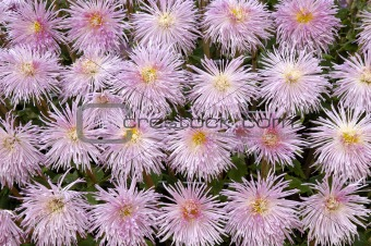 Background of purple chrysanthemums