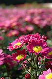 Close up of pink chrysanthemums