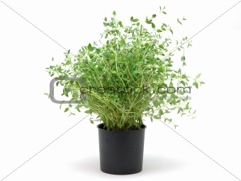 Pot of thyme