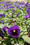 Purple viola flower