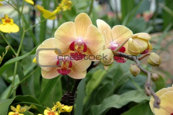 A cluster of yellow-pink orchids
