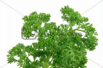 Close up of fresh parsley