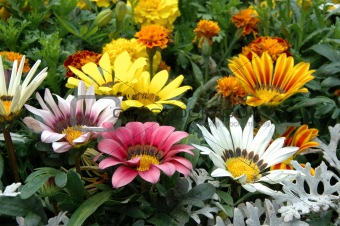 Mixed color gazania