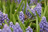 Bee on grape hyacinth