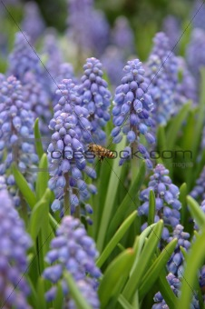 Bee and grape hyacinth