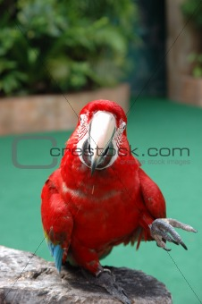 Beautiful scarlet macaw