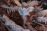 Frosted winter ferns