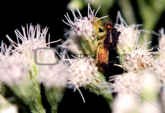 Ambush Bug (Male)