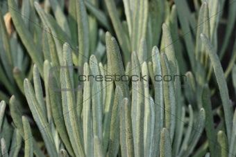 Fleshy plant close-up