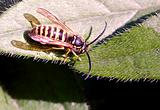 Downy Yellow Jacket