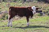 Cow Girl Gwen the Simmental heifer