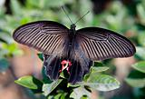Chinese Red and Black Butterfly Macro