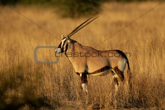 Gemsbok antelope