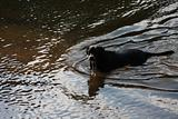 Huey, Black dog drinking in the water.