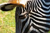 Close-up zebra