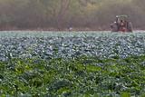 Cabbage Feild