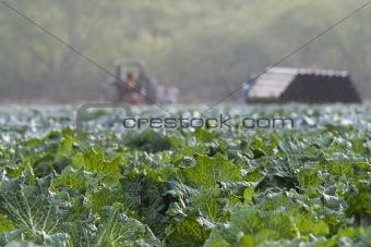 Cabbage Crop