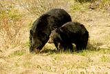 Black bear and cub.