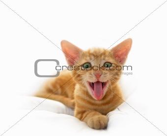 Yawning Cute Cat